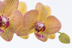 Yellow Phalaenopsis Orchids and bud close up Royalty Free Stock Photo