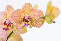 Yellow Phalaenopsis orchids and bud close up Royalty Free Stock Photos