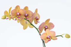 Yellow Phalaenopsis orchids and buds close-up Stock Photos