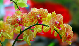 Yellow phalaenopsis orchids Stock Photo