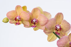 Yellow Phalaenopsis Orchids close up Stock Photography