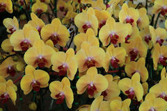 Yellow Phalaenopsis Orchids. Detail of Yellow Phalaenopsis Orchids Royalty Free Stock Photography