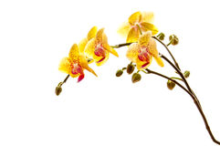 Yellow phalaenosis orchid stem isolated on white Royalty Free Stock Photos