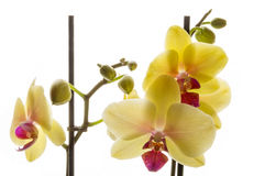 Yellow phaleonopsis orchids with buds Stock Images