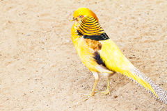 Yellow pheasant standing on the ground Stock Images