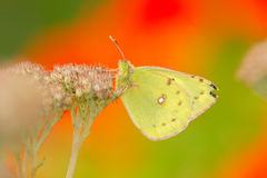 Yellow pieris royalty free stock photo