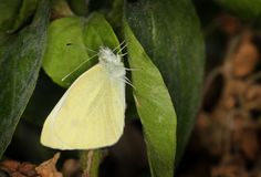 Yellow Pieris Brassicae Butterfly Royalty Free Stock Photos