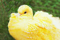 Yellow pigeon Royalty Free Stock Photo