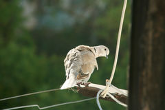 Yellow pigeon  flew to the balcony. And looks at the photographer Stock Photography