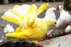 Yellow pigeon and white pigeons Royalty Free Stock Image