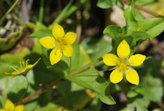 Yellow Pimpernel Stock Photo