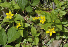 Yellow Pimpernel Royalty Free Stock Photos