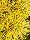 Yellow pin cushion flowers. Close up of three yellow pin cushion flowers royalty free stock photo
