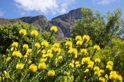 Yellow Pincushion Flower Stock Photo
