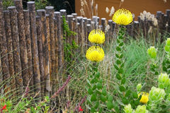 Yellow Pincushion Flower Stock Images
