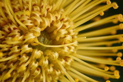 Yellow Pincushion Protea Royalty Free Stock Photos