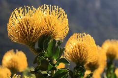 Yellow pincushion. Protea unique to the Western Cape, South Africa.  Plants at the foot of Table Mountain Royalty Free Stock Photos