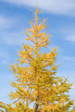 Yellow pine Royalty Free Stock Photography