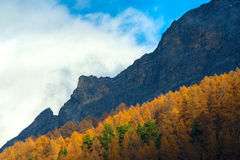 Yellow pine trees in the alps Stock Image