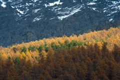 Yellow pine trees in the alps Royalty Free Stock Photography