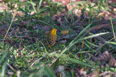 Yellow Pine Warbler bird landed on a green grass royalty free stock images