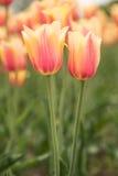 Yellow and Pink Blushing Beauty Tulips Holland Michigan Stock Photo