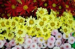 Yellow pink brown Chrysanthemum Stock Photos