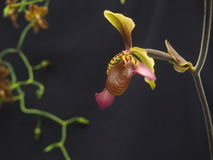 Yellow, Pink And Brown Polka Dotted Slipper Orchid Royalty Free Stock Images