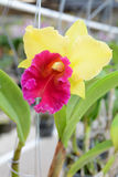 Yellow and pink cattleya orchid Royalty Free Stock Photo