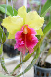 Yellow and pink cattleya orchid Royalty Free Stock Photography