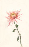 Yellow-pink chrysanthemum watercolor painting. Stock Photo