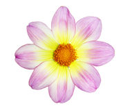 Yellow Pink Dahlia Stock Photos