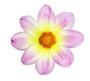 Yellow Pink Dahlia. Fresh yellow pink dahlia flower isolated on white Stock Photos