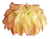 Yellow-pink Dahlia flower, white  background isolated  with clipping path. Closeup.  with no shadows. for design Stock Image