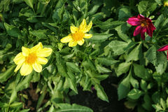Yellow and pink dahlias in the lush foliage. Close up Stock Photo