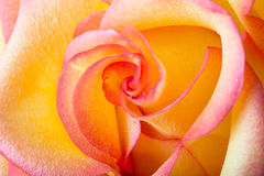Yellow and pink delicate rose Royalty Free Stock Image