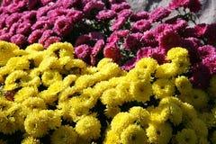 Yellow-pink duo flowers. Yellow pink duo flowers carpet Stock Photos