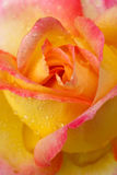 Yellow with pink edge noble rose. Macro shot. Royalty Free Stock Photography