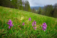 Yellow and pink Elder-flowered Orchid, Dactylorhiza sambucina, European terrestrial wild orchid in nature habitat. Nature spring. Scene in Europe. MEadow with stock photos