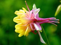 DOUBLE COLUMBINE BLOOM IN SPRING. Yellow and pink flower from the Columbine family brings vibrant color in the garden Stock Photos