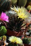 Flowering cacti in a greenhouse. Yellow and pink flowers blooming on cacti in a greenhouse royalty free stock image