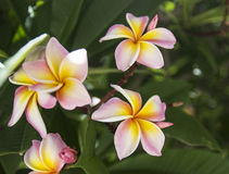 Yellow pink frangipani. Blooming yellow pink frangipani flower Royalty Free Stock Photography