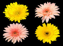 Yellow and pink Gerbera bloom Flowers isolated on black background Royalty Free Stock Image