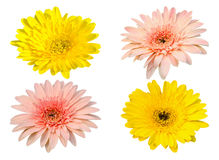 Yellow and pink Gerbera bloom Flowers isolated on white background Royalty Free Stock Photos