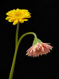 Yellow and pink gerbera daisy flowers Royalty Free Stock Photography