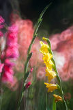 Yellow and pink Gladiolus flowers Royalty Free Stock Images