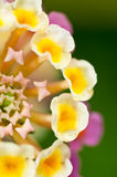 Yellow  and pink lantana camara flower close up Stock Photography