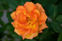 Yellow pink mixed rose blooming in the garden royalty free stock image