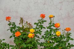 Yellow pink mixed rose blooming in the garden, rose plants stock image