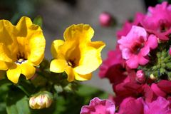 Yellow and pink nemesia flowers. In a blue flowerpot close up Royalty Free Stock Photo